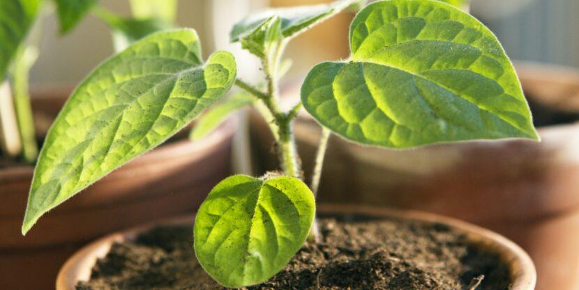 majanduskasv, taim kasvab potis
