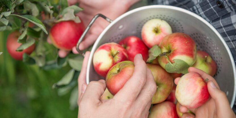 A family of three pick apples in a backyard garden
